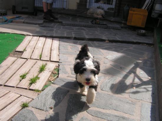 Terrier du Tibet (Femelle)