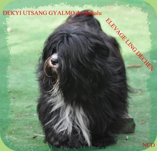 Terriers du Tibet
