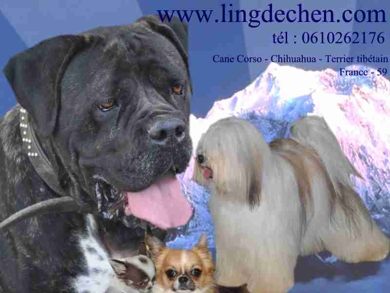Elevage Canin LING DECHEN